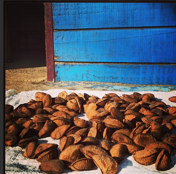 Brazil nuts drying in the sun. Kate Evans