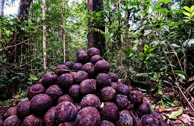 noix du br sil vs abattage du bois le dilemme de l 39 amazonie cifor forests news. Black Bedroom Furniture Sets. Home Design Ideas