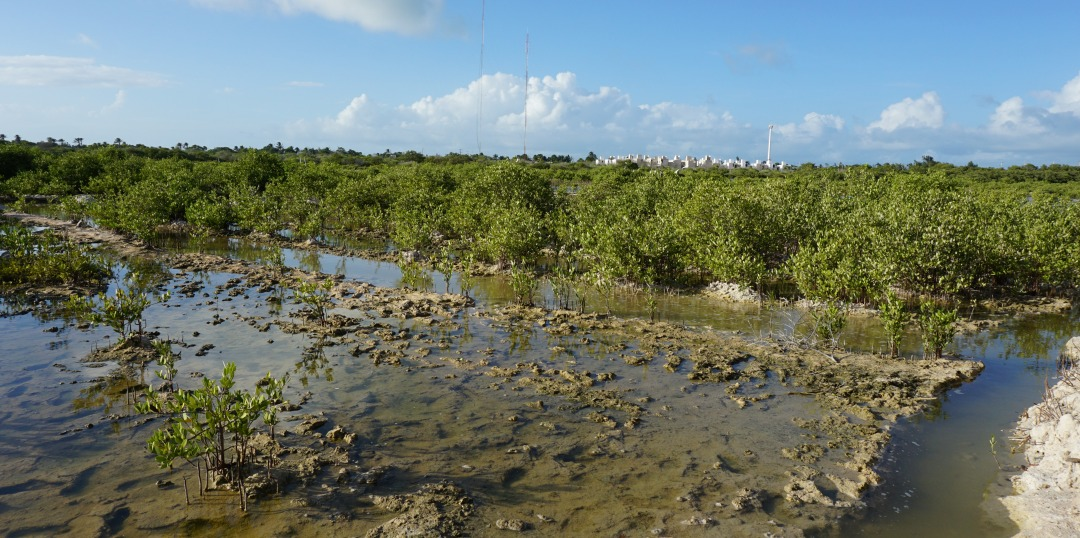Bringing back mangroves: Scientists in Mexico restore degraded ecosystems