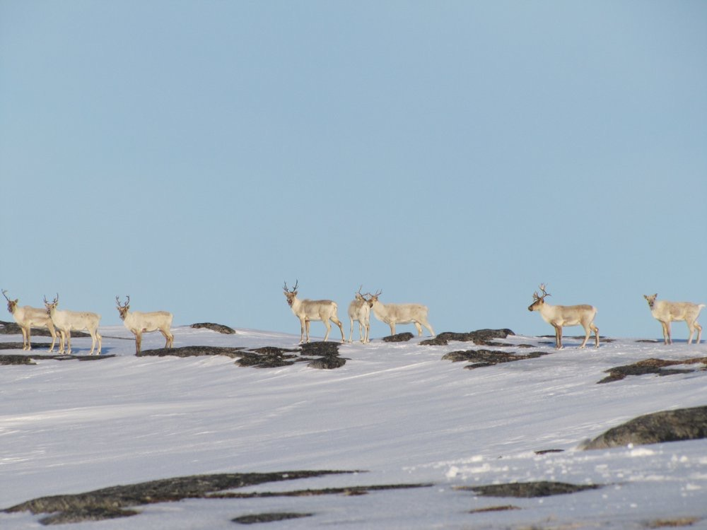 Canadian caribou hunting ban highlights challenges of wildlife management